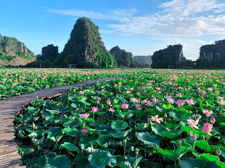 """Lạ Ninh Bình: Đang giữa mùa Thu, đầm sen """"kỳ lạ nhất Việt Nam"""" bỗng dưng nở rộ sắc màu - Ảnh 1."""