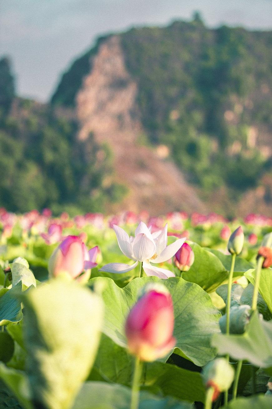 """Lạ Ninh Bình: Đang giữa mùa Thu, đầm sen """"kỳ lạ nhất Việt Nam"""" bỗng dưng nở rộ sắc màu - Ảnh 3."""