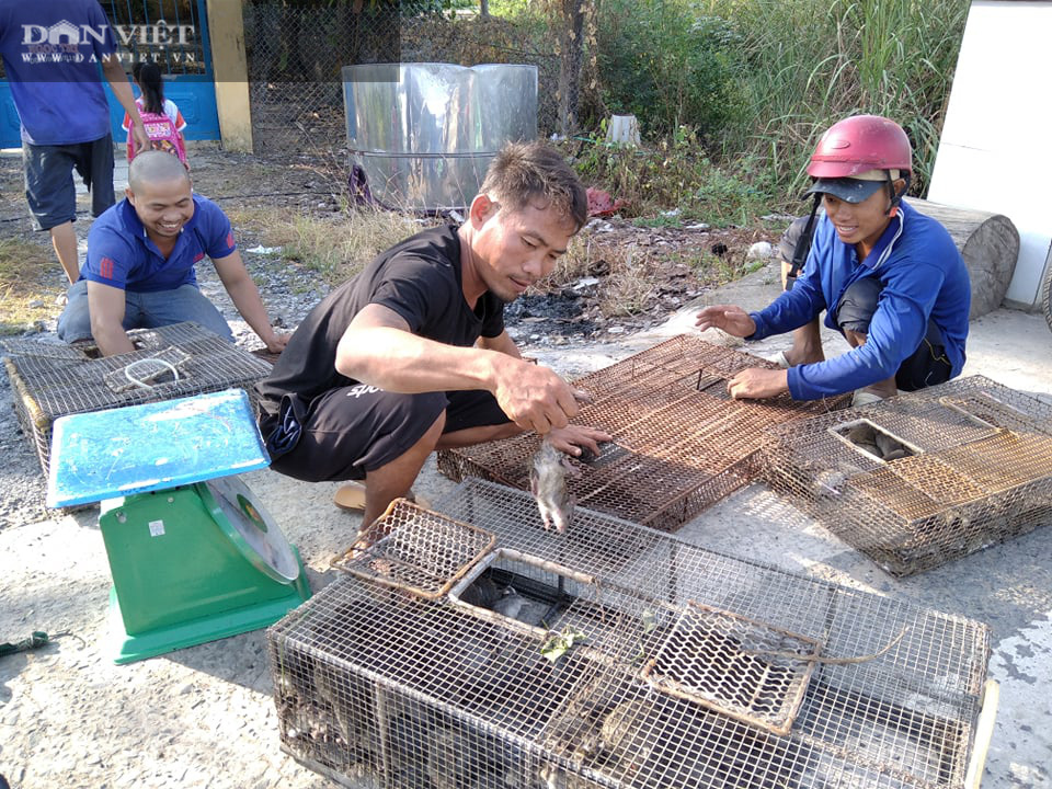 Đồng Tháp: Nước tràn đồng, dân tấp nập săn bắt chuột đồng, mối thu gom vài tạ chuột mỗi ngày bán giá cao - Ảnh 3.