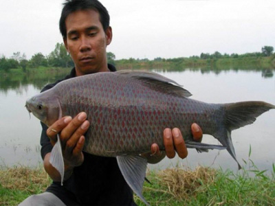 Lâm Đồng: Nuôi loài cá có cái tên nghe mắc cười, đã mập vạm vỡ lại đen thùi lùi, bán đắt tiền - Ảnh 1.
