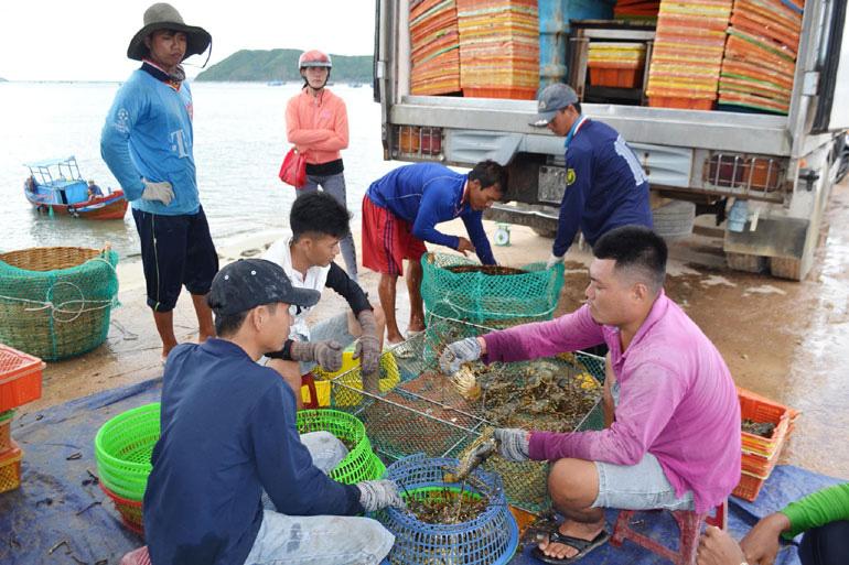 Phú Yên: Khổ quá, nuôi tôm hùm quá lứa to lắm rồi mà giá bán cứ tụt thê thảm, nuôi tiếp lại lo ngay ngáy - Ảnh 1.