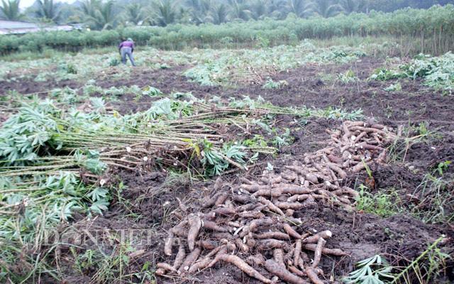 Nông dân điêu đứng vì khảm lá sắn tiếp tục lây lan diện rộng  - Ảnh 5.