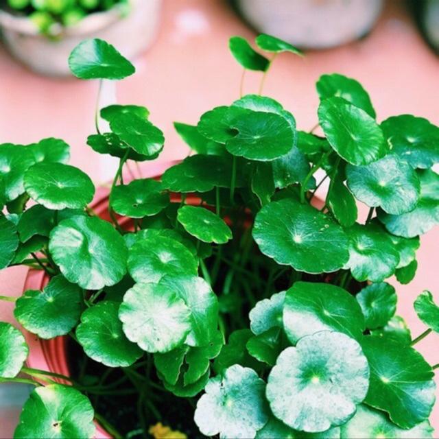 3 loài hoa thịnh vượng, điềm lành và sung túc trồng trong nhà không phải ai cũng biết - Ảnh 2.