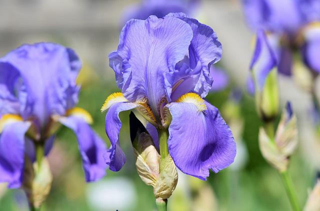 3 loài hoa thịnh vượng, điềm lành và sung túc trồng trong nhà không phải ai cũng biết - Ảnh 13.