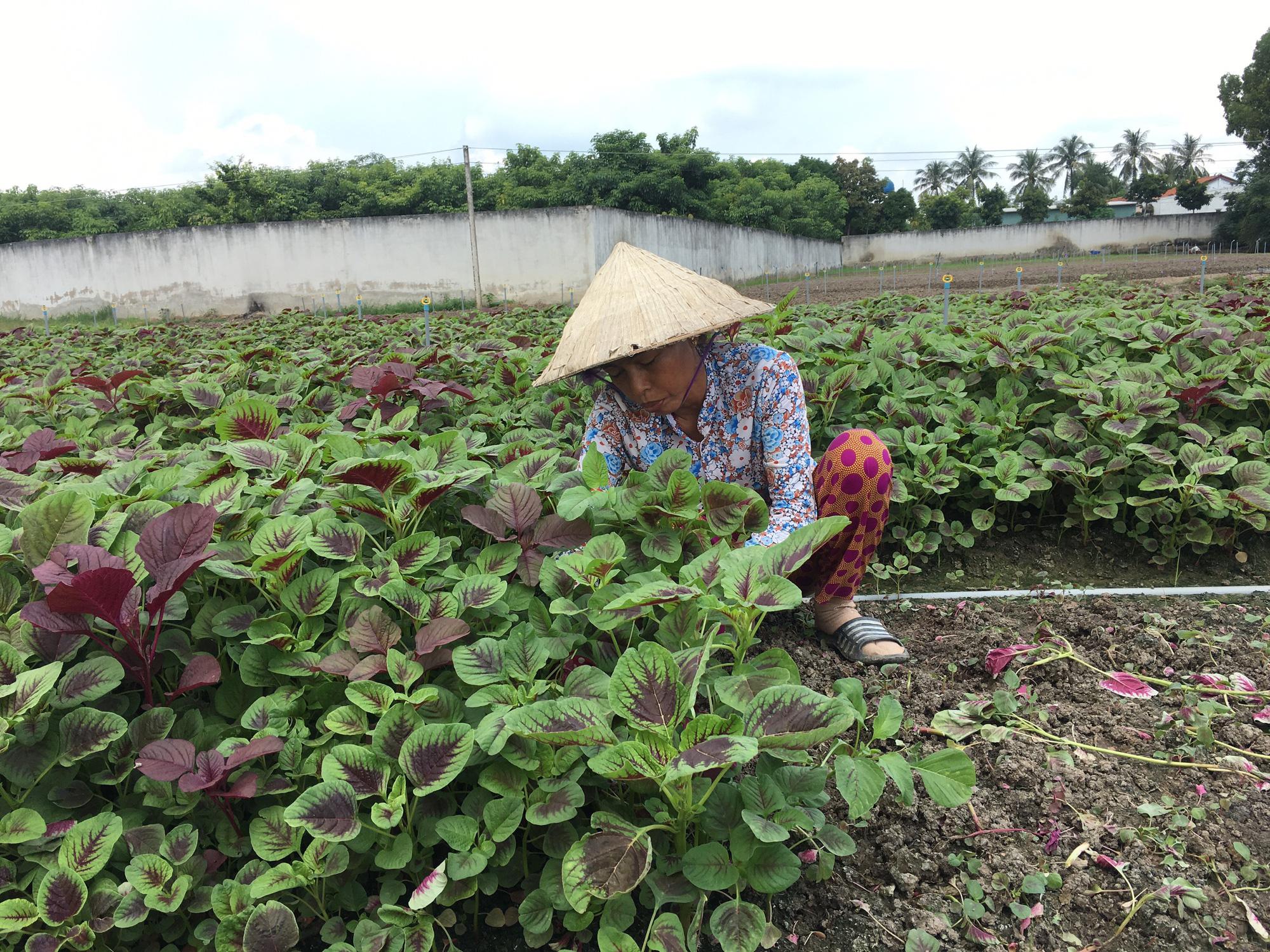 Agribank Đông Long An đồng hành với người dân trồng rau an toàn - Ảnh 6.