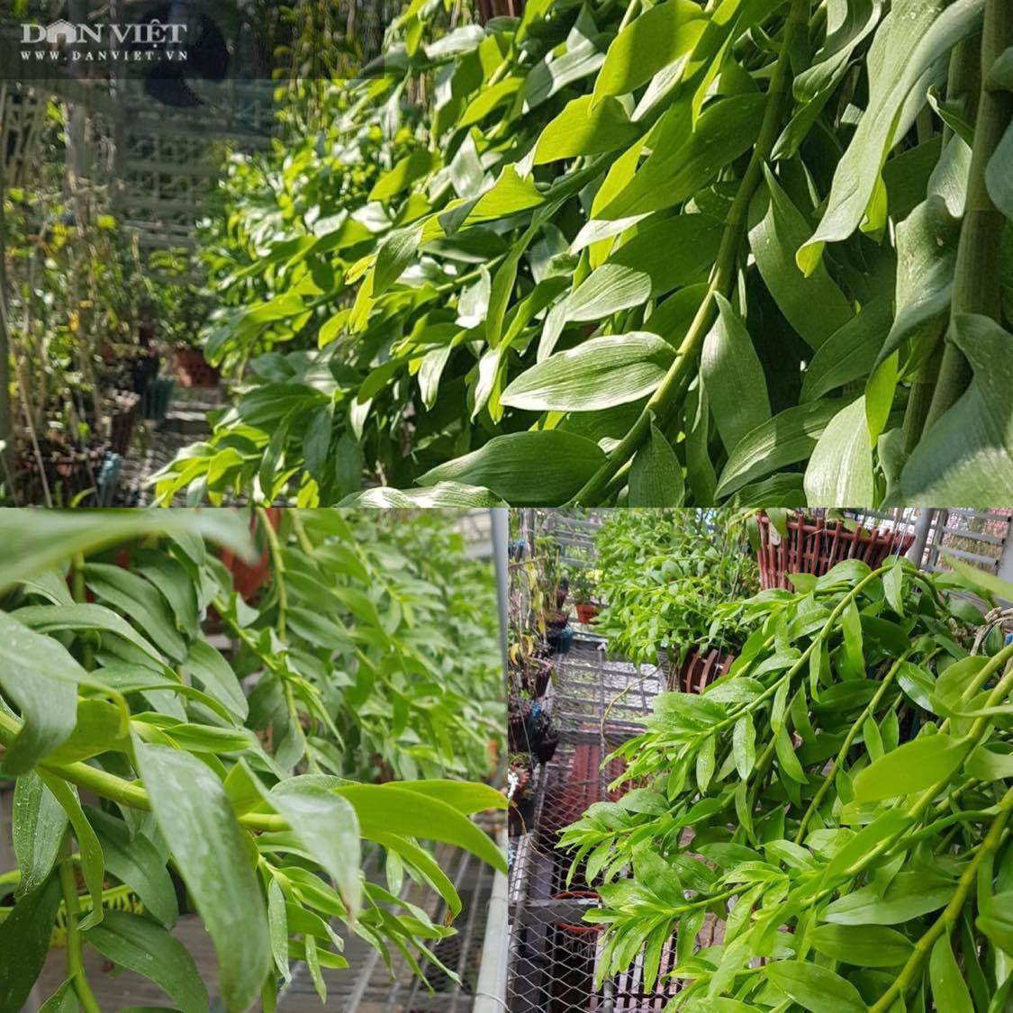 """Thái Bình: Ông chủ vườn lan đột biến """"khủng"""" treo đầy hàng rào, nhiều chậu tiền tỉ nhìn phát thèm - Ảnh 11."""