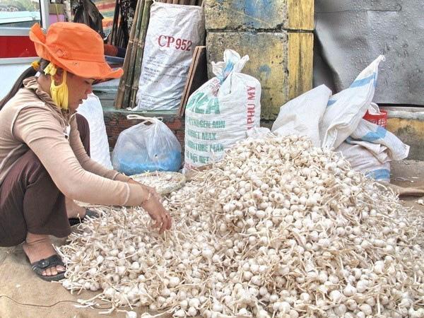 Lý Sơn vẫn còn khoảng 700 tấn tỏi khô chưa được tiêu thụ - Ảnh 1.