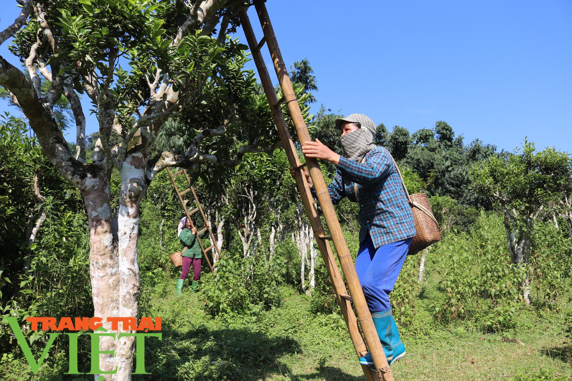 Cần xây dựng thương hiệu cho chè Shan tuyết Mường Do - Ảnh 4.