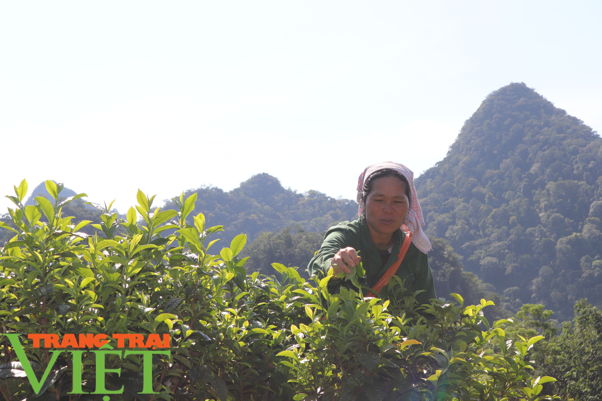 Cần xây dựng thương hiệu cho chè Shan tuyết Mường Do - Ảnh 2.