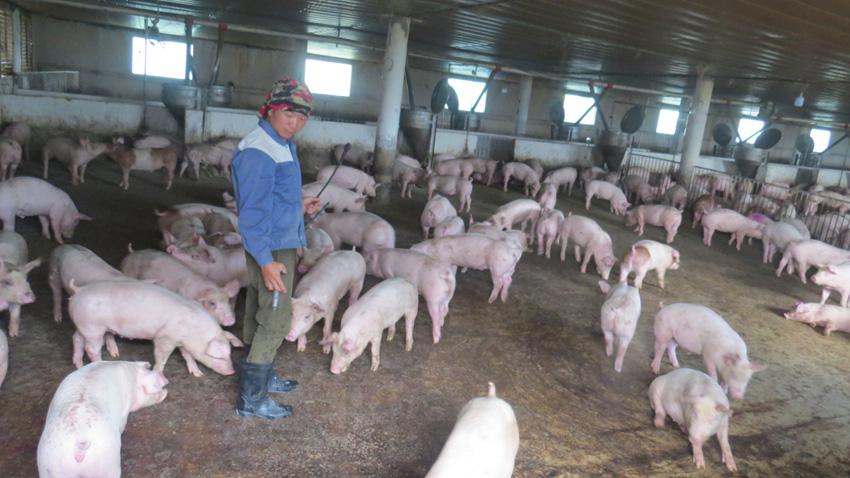 Phú Yên: Nuôi heo công nghệ cao, chàng kỹ sư điện chứng minh việc bỏ xứ người về quê làm nông dân là đúng - Ảnh 1.