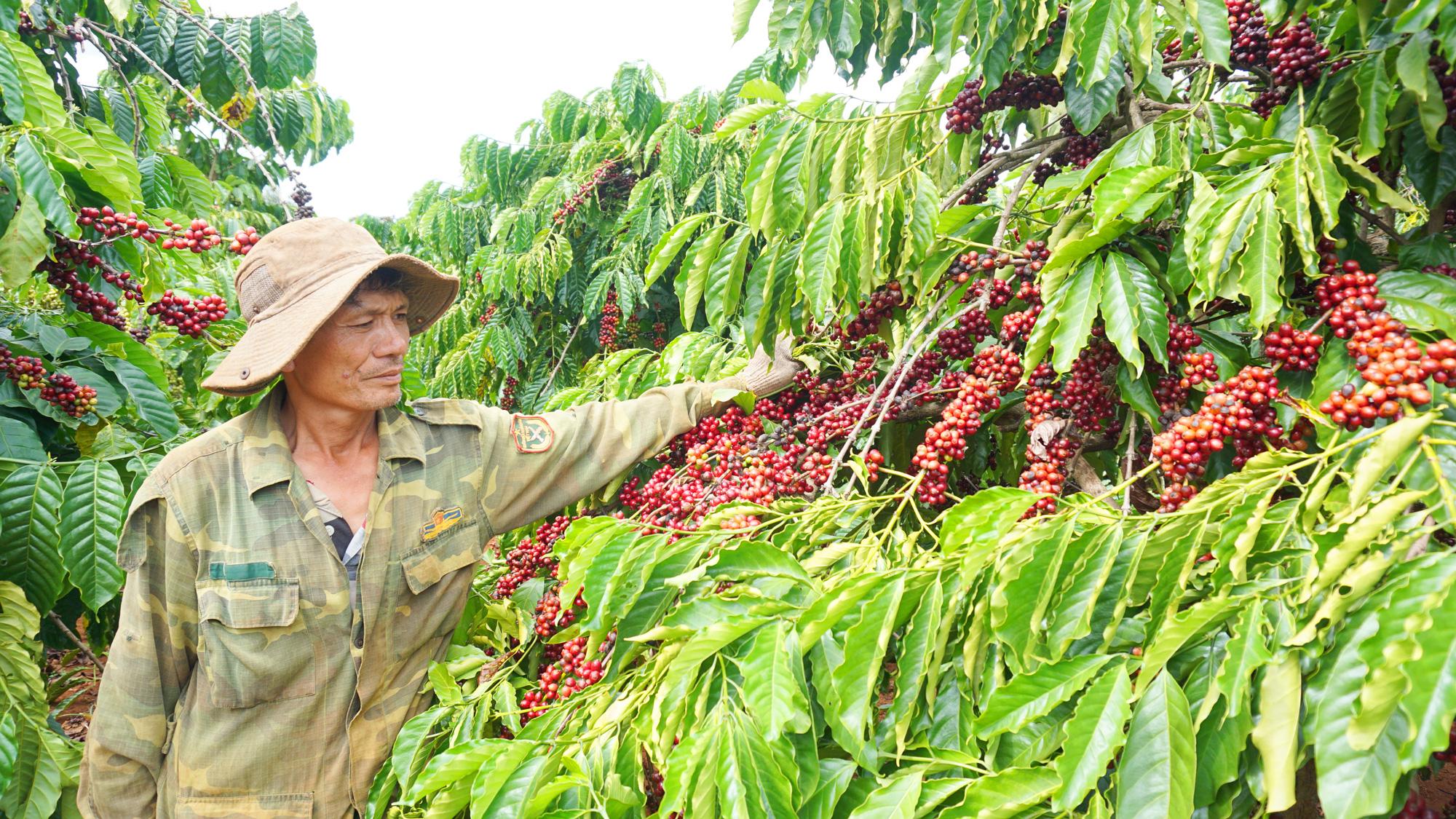 EVFTA: Cơ hội tăng mạnh về lượng và chất cho ngành hàng cà phê - Ảnh 2.
