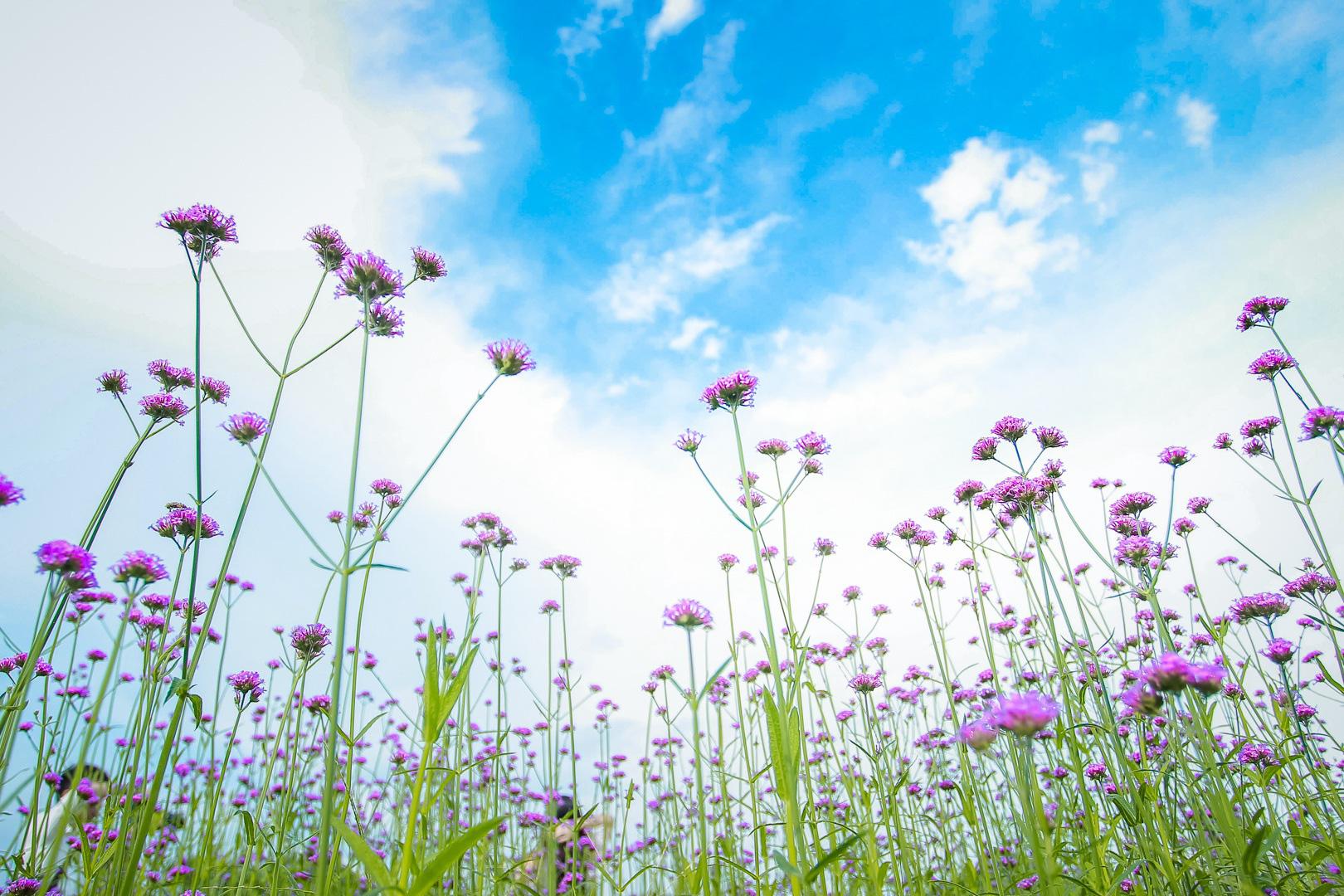 """Giới trẻ đua nhau """"check-in"""" cánh đồng oải hương thảo đẹp như trời Tây - Ảnh 7."""