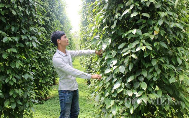 CLip Giám đốc trẻ và mơ ước chế biến hồ tiêu hữu cơ cho người Việt - Ảnh 7.