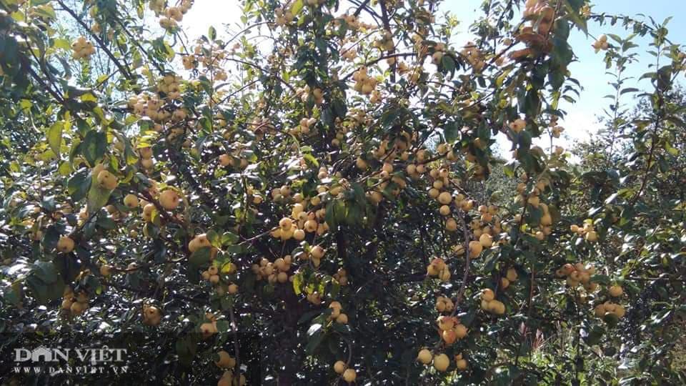 Vựa hoa quả Sơn La sẵn sàng cung ứng hàng cho nhà máy chế biến - Ảnh 2.