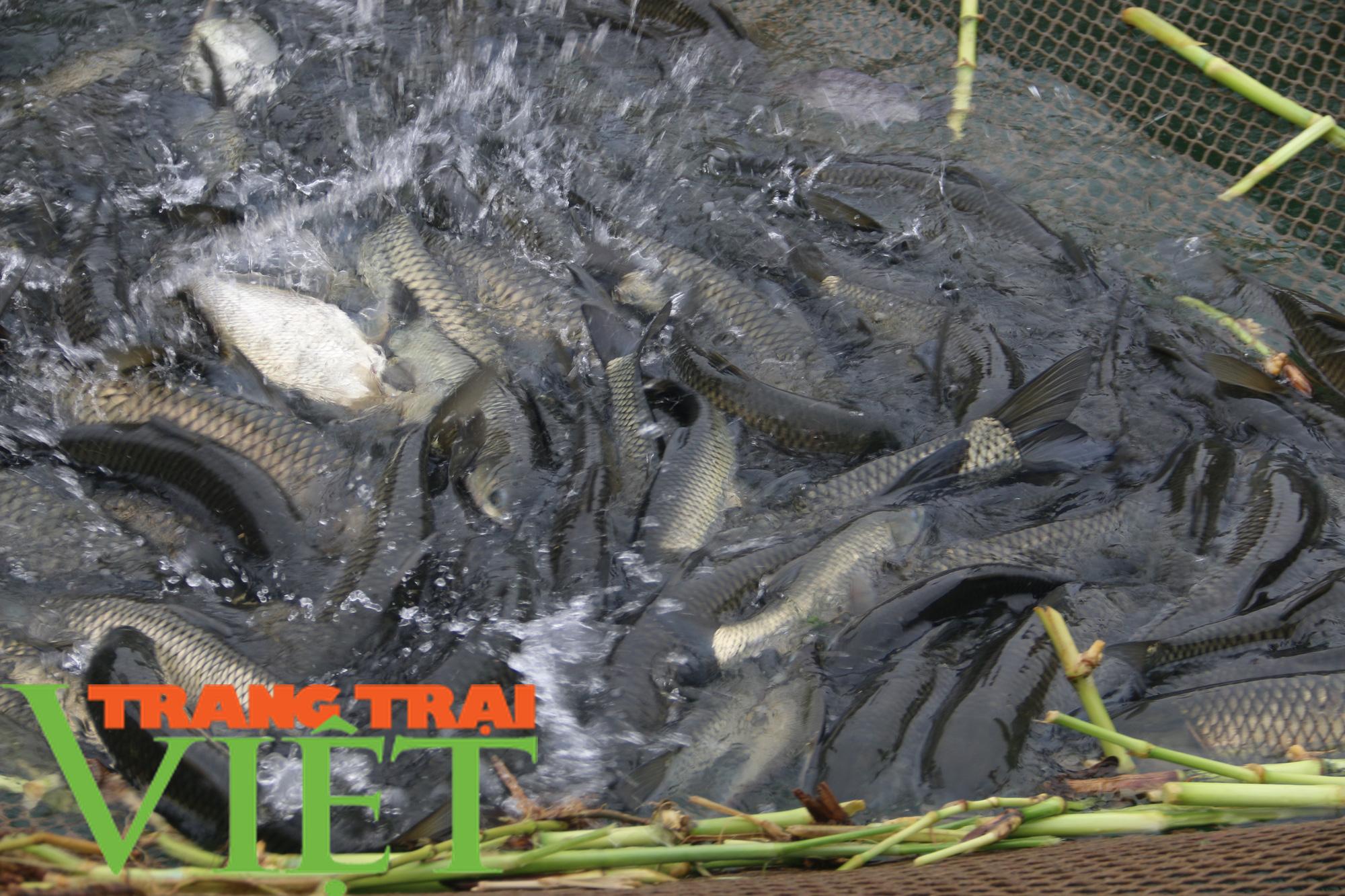 Nông dân vùng lòng hồ sông Đà khấm khá nhờ nuôi cá lồng - Ảnh 6.