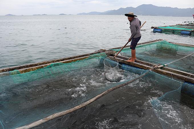 Khánh Hoà: Khốn khổ, cá bớp đặc sản chết hàng loạt, có hộ cá chết sạch, vớt lên 2 tấn - Ảnh 1.