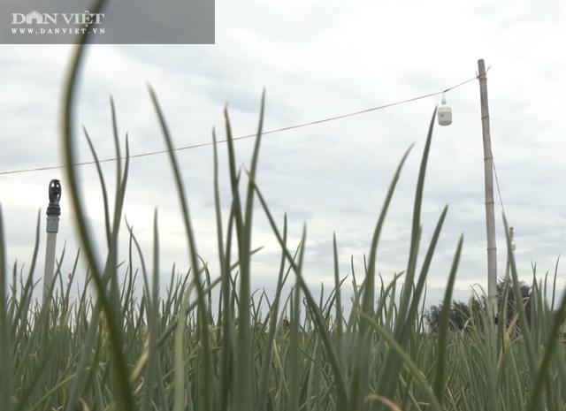 """Quảng Ngãi: Thắp điện sáng rực như phố cho cánh đồng """"vàng tím"""" để chống sâu bướm gây hại  - Ảnh 3."""