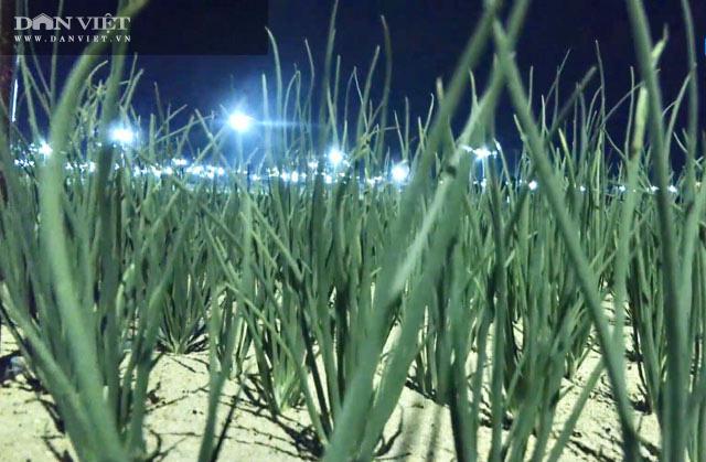 """Quảng Ngãi: Thắp điện sáng rực như phố cho cánh đồng """"vàng tím"""" để chống sâu bướm gây hại  - Ảnh 5."""