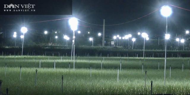 """Quảng Ngãi: Thắp điện sáng rực như phố cho cánh đồng """"vàng tím"""" để chống sâu bướm gây hại  - Ảnh 6."""