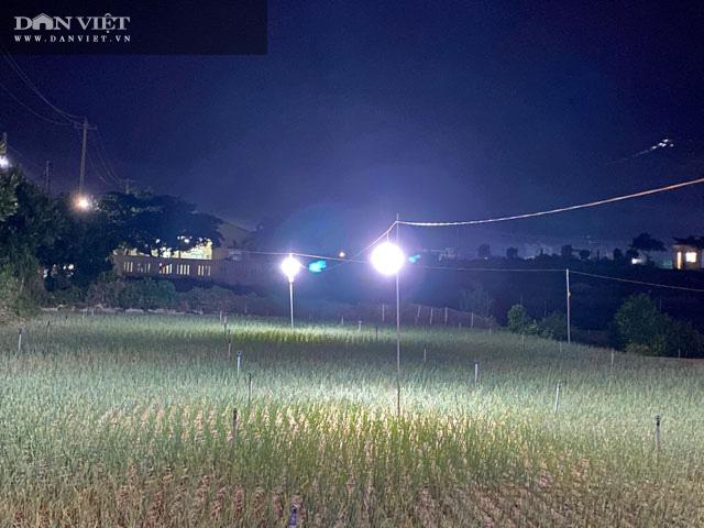 """Quảng Ngãi: Thắp điện sáng rực như phố cho cánh đồng """"vàng tím"""" để chống sâu bướm gây hại  - Ảnh 2."""