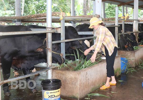 Bình Định: Làm chung 1 nghề nuôi vỗ béo những con bò to lớn, cả làng này ngày càng thịnh vượng - Ảnh 1.
