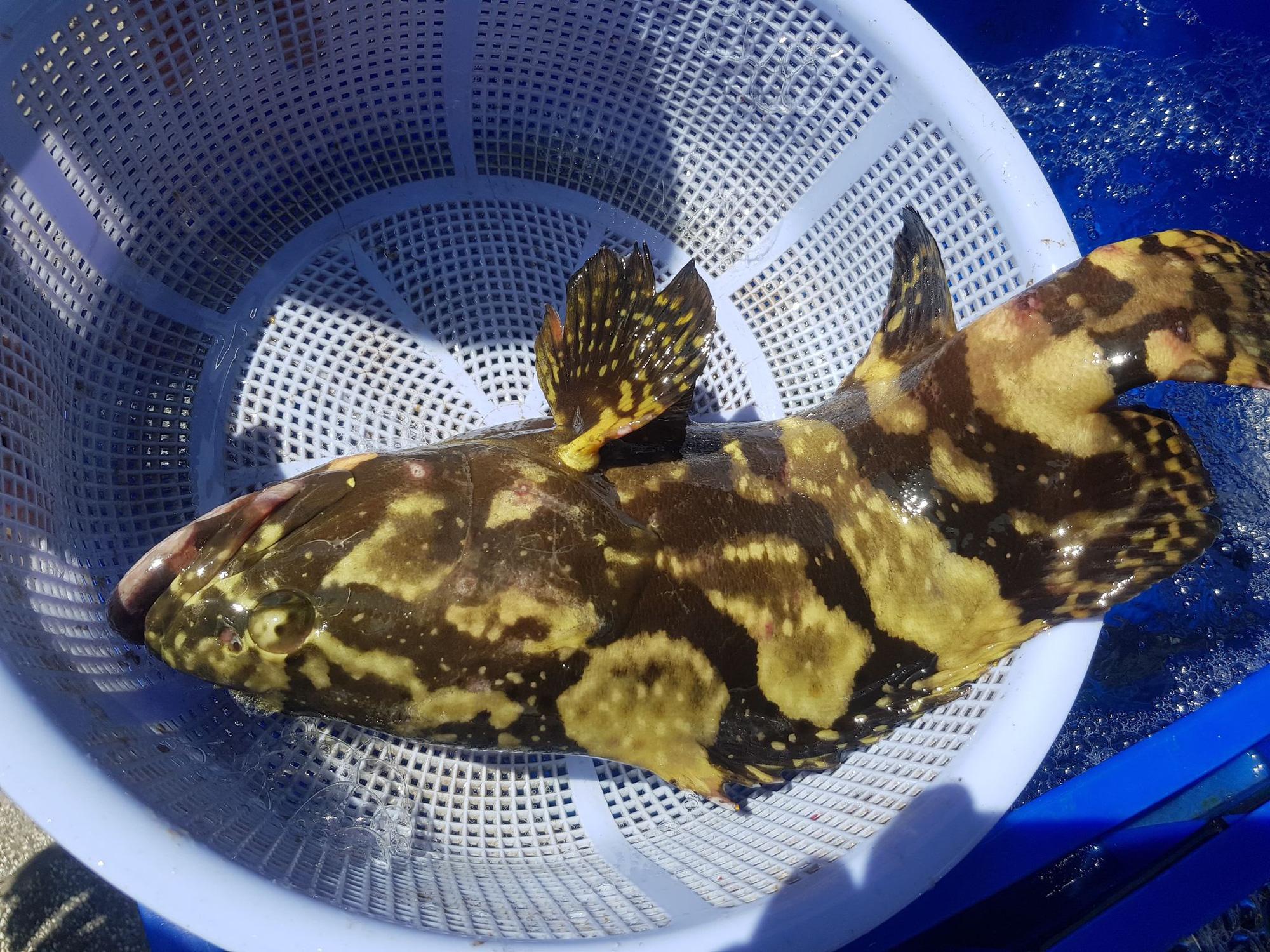 Cả ngàn tấn cá mú bí đầu ra, giá giảm một nửa vẫn khó giải cứu - Ảnh 4.