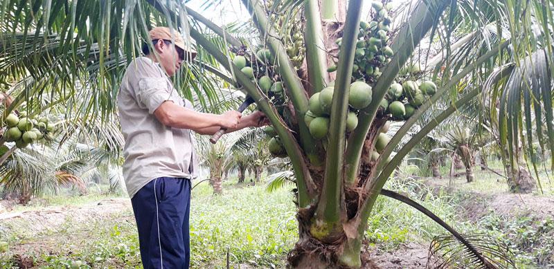 Bến Tre: Ông nông dân này trồng giống dừa gì mà cây lùn tịt đã ra trái quá trời, vừa bán xong 1.500 trái - Ảnh 1.