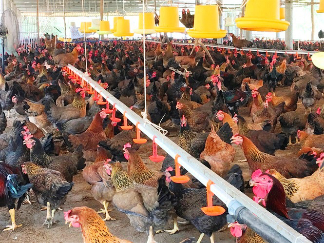 """Bình Định: """"Chi viện"""" 42.000 con giống, thực hiện mô hình nuôi gà an toàn sinh học - Ảnh 1."""