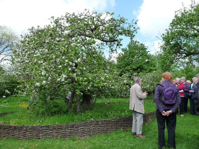 Cây táo của Newton vẫn ra quả dù đã 400 tuổi - Ảnh 3.