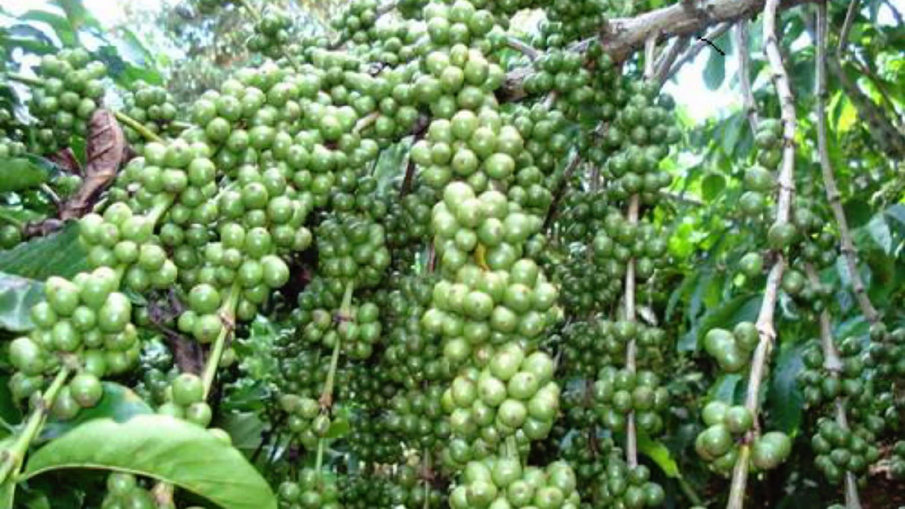 Việt Nam trở thành nước cung ứng cà phê hàng đầu vào Nhật Bản nhờ COVID-19 - Ảnh 1.