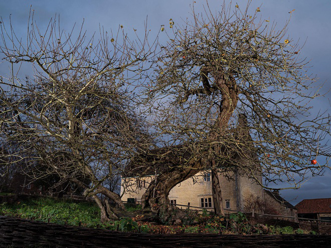 Cây táo của Newton vẫn ra quả dù đã 400 tuổi - Ảnh 4.
