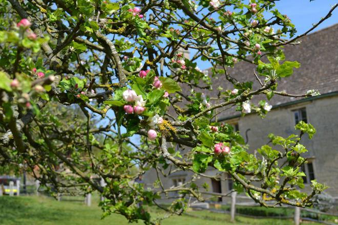 Cây táo của Newton vẫn ra quả dù đã 400 tuổi - Ảnh 7.