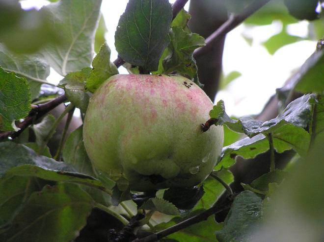 Cây táo của Newton vẫn ra quả dù đã 400 tuổi - Ảnh 8.
