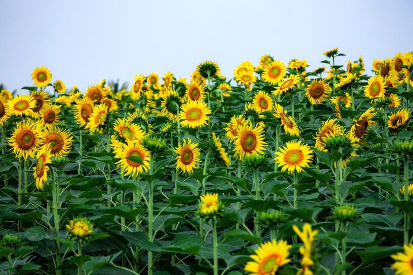 Đồi hoa mặt trời Ecopark khoe sắc đón thu sang - Ảnh 21.