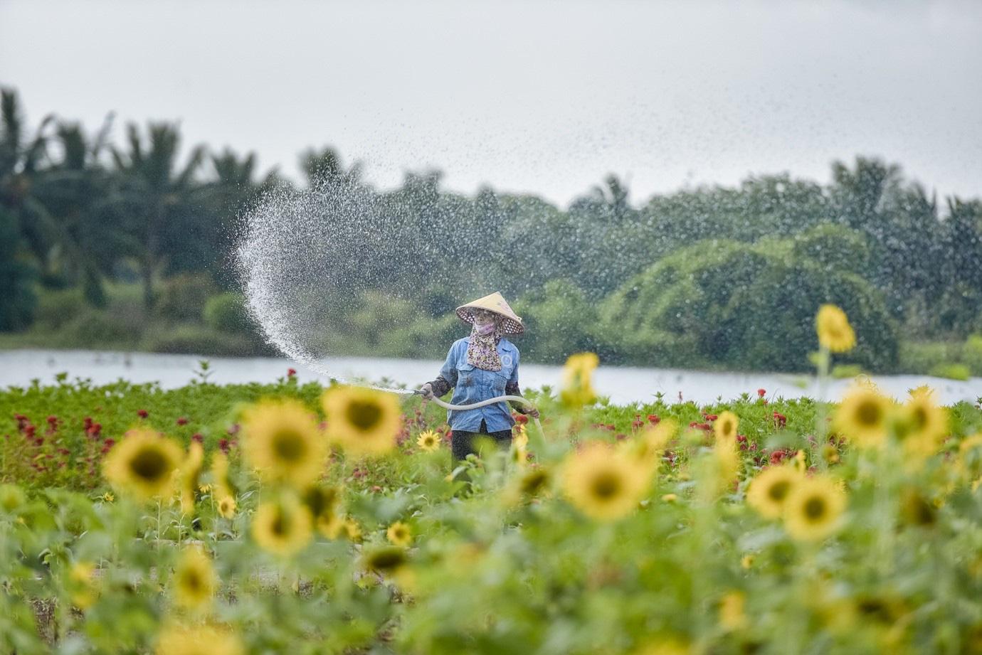 Đồi hoa mặt trời Ecopark khoe sắc đón thu sang - Ảnh 5.