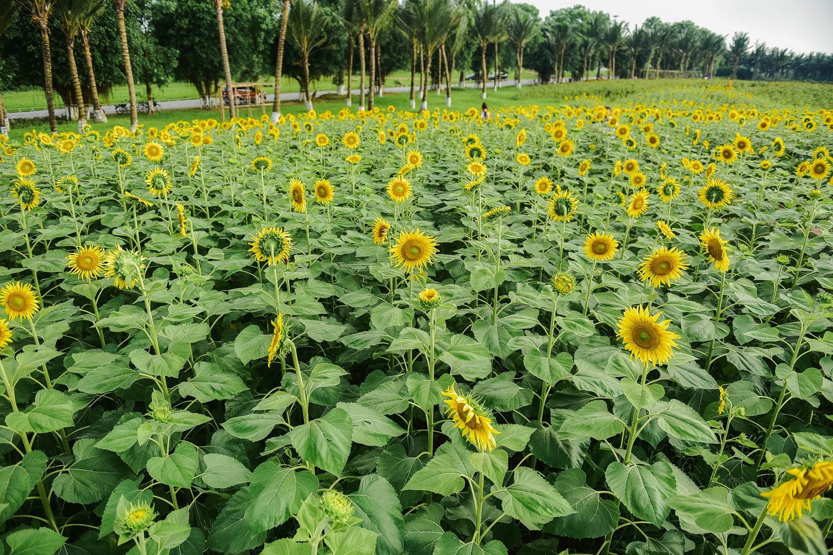 Đồi hoa mặt trời Ecopark khoe sắc đón thu sang - Ảnh 7.