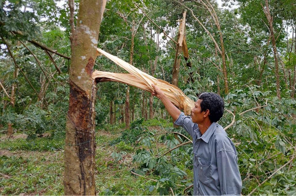 """Khốn khổ, bão số 5 quét qua, 1 xã của tỉnh Thừa Thiên Huế """"bay"""" mất 100 tỷ từ loài cây này - Ảnh 1."""
