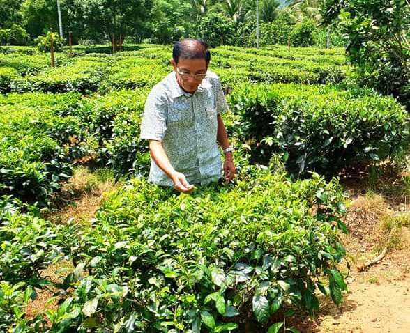 """Tưởng """"lụi tàn"""", chè Gò Loi bất ngờ hồi sinh mạnh mẽ, trở thành cây """"kiếm tiền"""" của nông dân - Ảnh 3."""