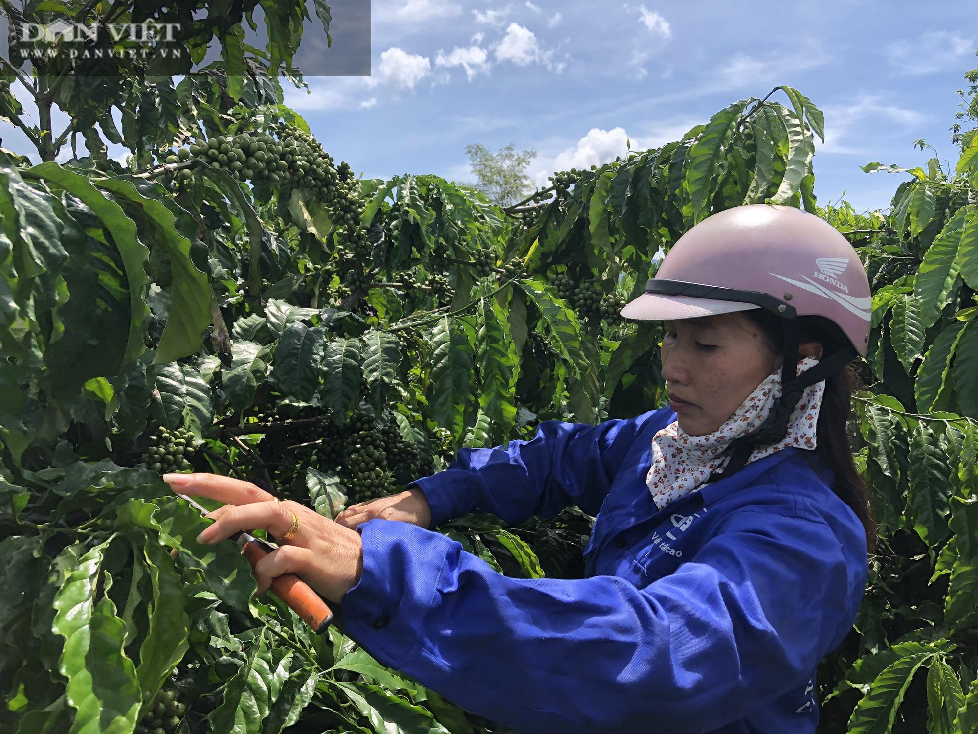 Người phụ nữ chân đất thu hơn 2 tỷ/năm với 5ha cà phê sạch - Ảnh 2.