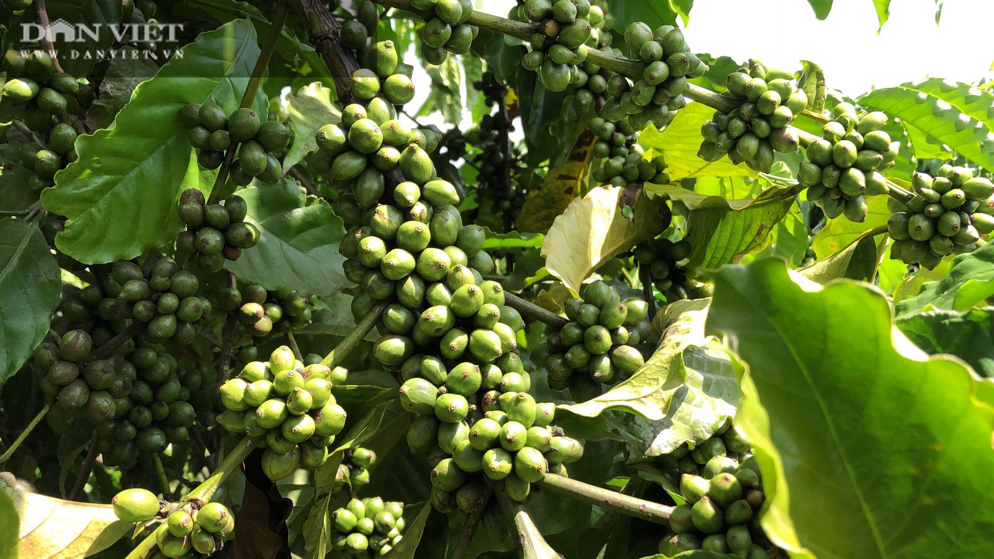 Người phụ nữ chân đất thu hơn 2 tỷ/năm với 5ha cà phê sạch - Ảnh 3.