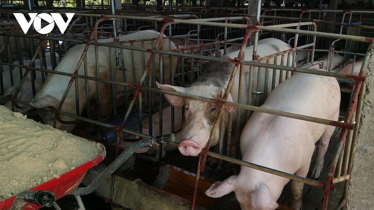 Xây dựng chuỗi cơ sở sản xuất chăn nuôi phòng dịch tả lợn châu Phi - Ảnh 1.