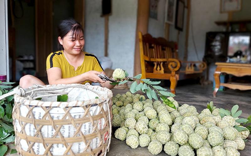 Tuyên Quang: Vùng đất dân đổi đời nhờ trồng cây na thấp tè mà ra toàn quả to bự - Ảnh 1.