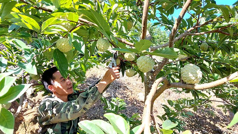 Tuyên Quang: Vùng đất dân đổi đời nhờ trồng cây na thấp tè mà ra toàn quả to bự - Ảnh 3.