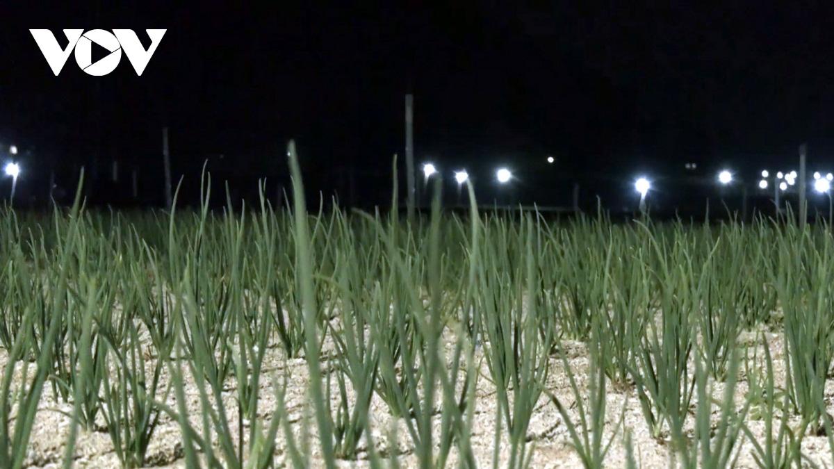 """Nông dân Lý Sơn làm """"bẫy đèn"""" trừ sâu để tăng giá trị nông sản - Ảnh 1."""