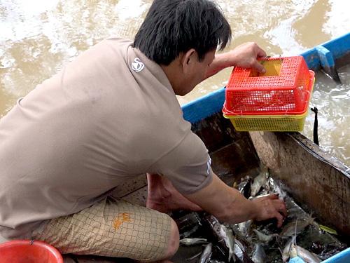 Sản vật cá chốt anh Trần Văn Hiếu bắt được thu về sau khi lặn dưới đáy sông Vàm Nao đoạn qua tỉnh An Giang.