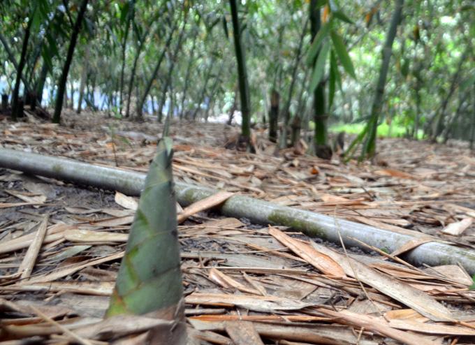 Tỷ phú nông dân rủ cả làng làm giàu bằng cách trồng bạt ngàn tre lấy măng - Ảnh 4.