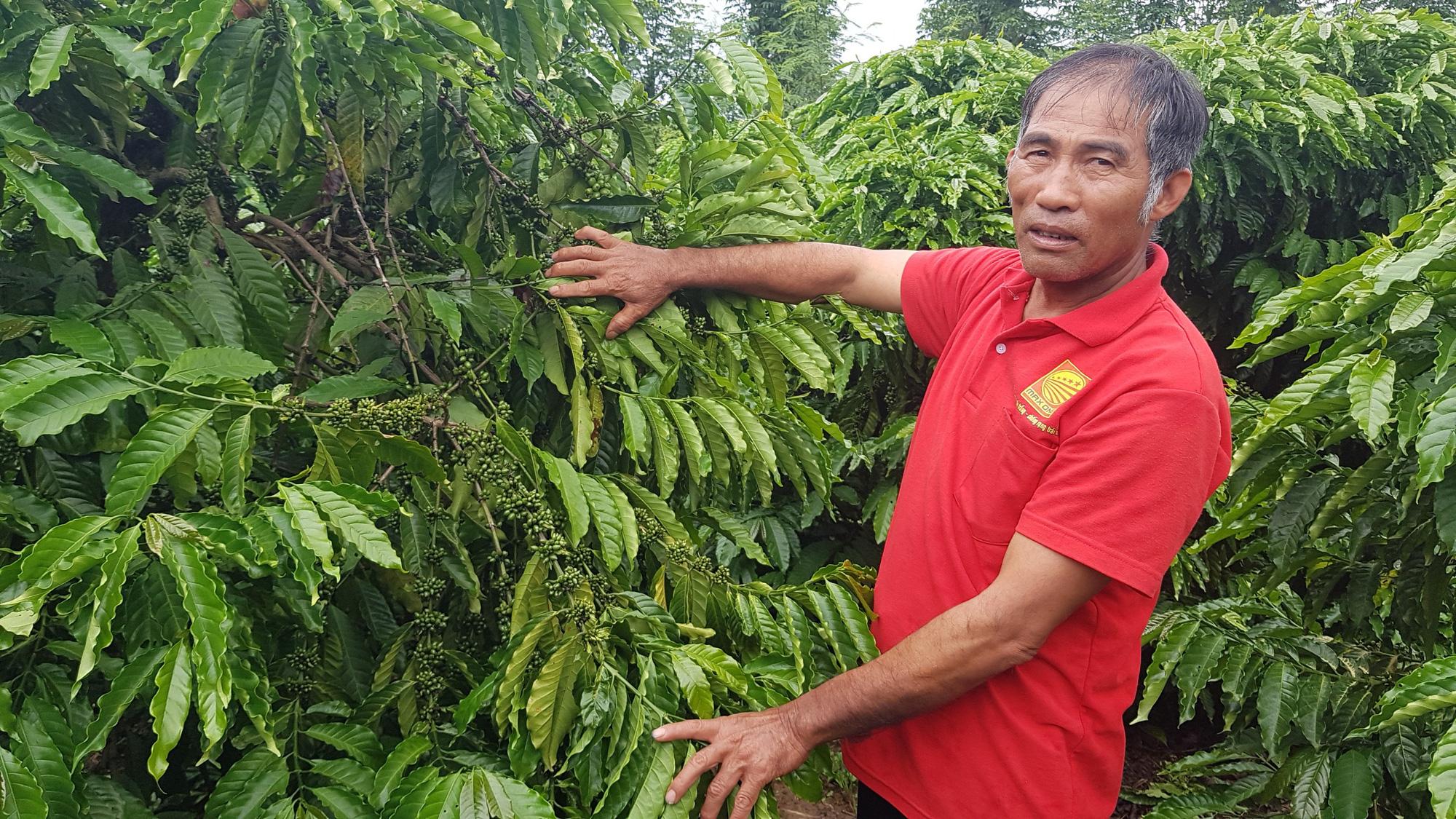Trồng cà phê khoa học, lão nông thu nhập hàng trăm triệu đồng mỗi năm - Ảnh 1.