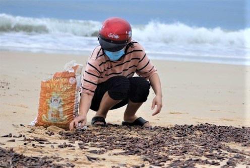 Vì sao ốc dạt vào bờ biển Quảng Bình dày đặc? - Ảnh 1.