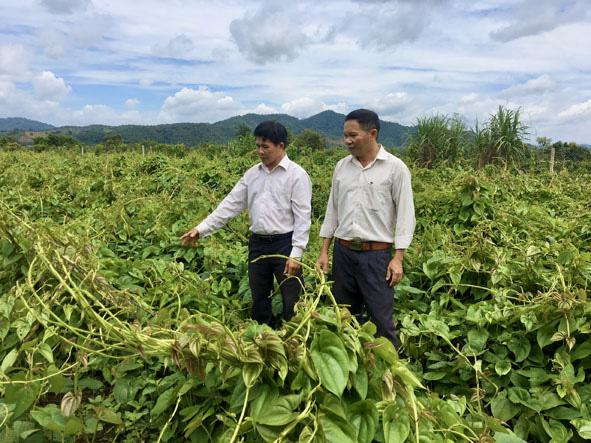 Đắk Lắk: Dân ở đây trồng cây thuốc ra củ rõ dài, mỗi sào đào 8 tấn - Ảnh 1.
