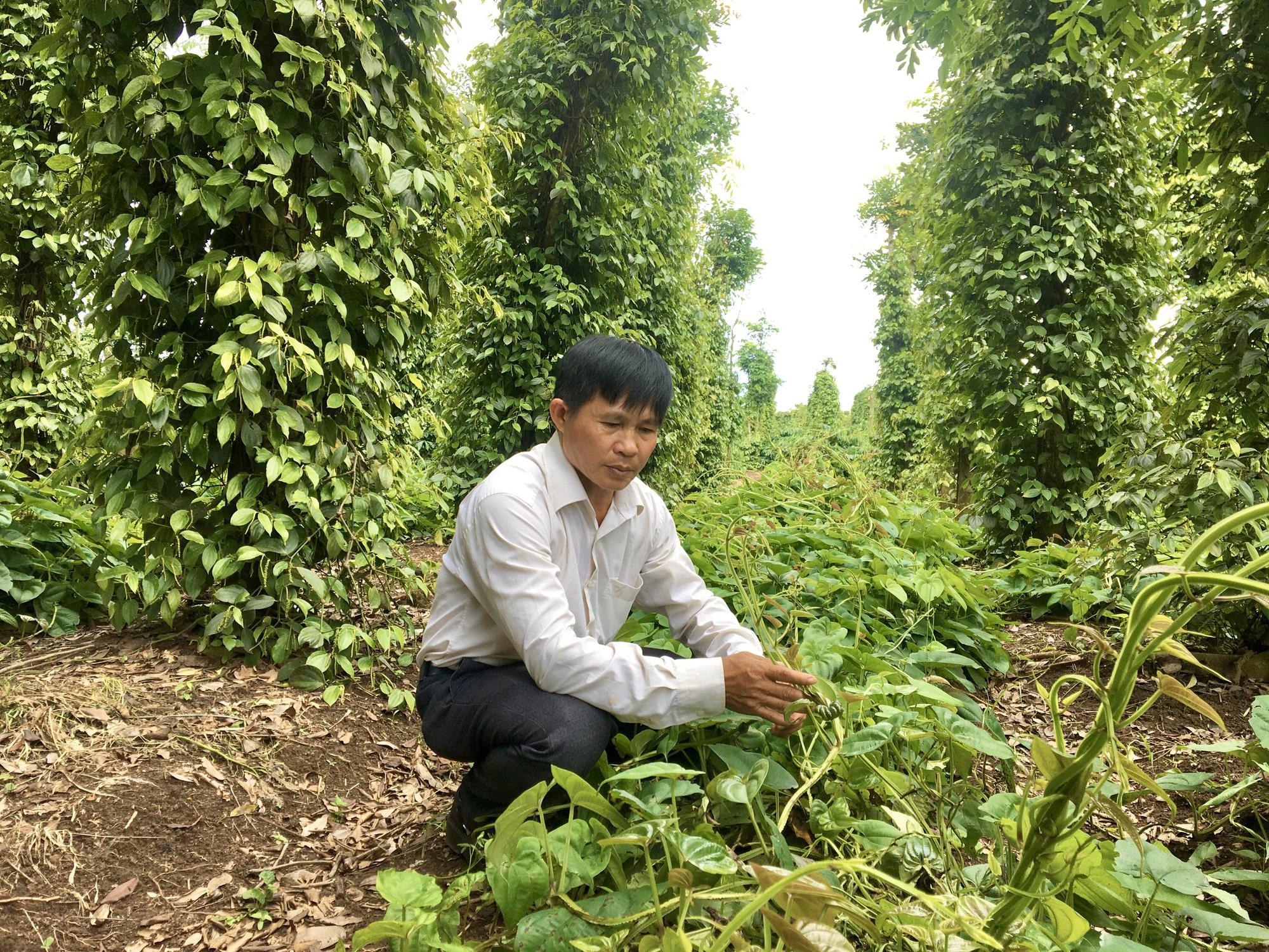 Đắk Lắk: Dân ở đây trồng cây thuốc ra củ rõ dài, mỗi sào đào 8 tấn - Ảnh 3.